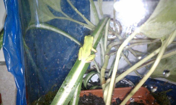 Dratsab Elttil, a green tree frog.
