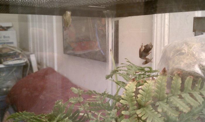Houdini & Hwinn: two green tree frogs